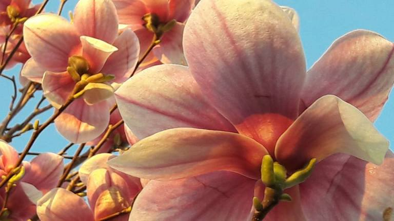 birgit neuwirth_magnolia