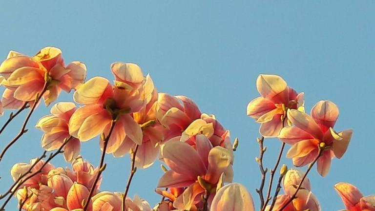 birgit neuwirth_magnolia1